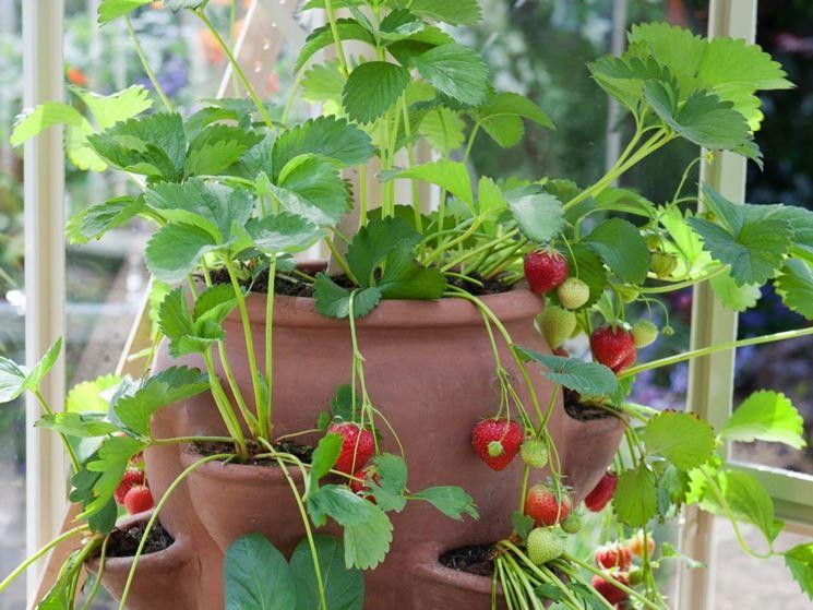 Coltivare fragole orto in balcone come coltivare le for Pianta fragole