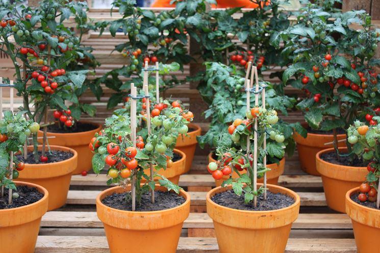 Pomodori ciliegini in vaso