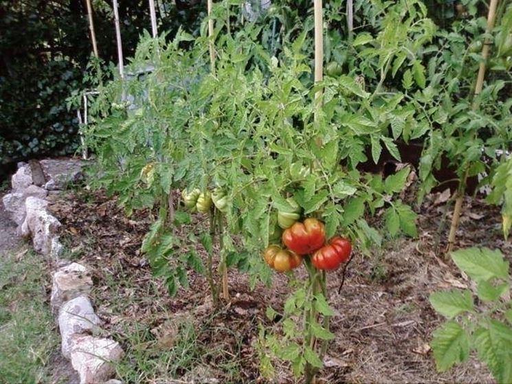 Coltivazione pomodori orto in balcone pomodori come for Piantare pomodori
