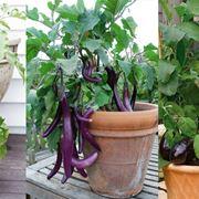 Come coltivare le melanzane in vaso sul balcone