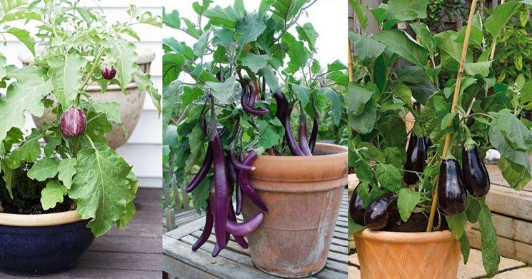 Come coltivare le \u003cstrong\u003emelanzane in vaso\u003c\/strong\u003e