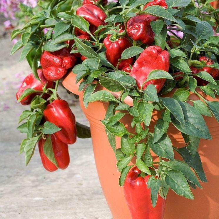 peperoni in vaso