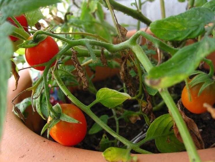 Pomodori sul balcone orto in balcone coltivare for Piantare pomodori