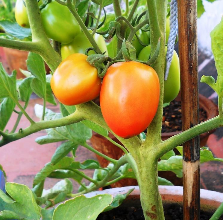 coltivare pomodori sul terrazzo