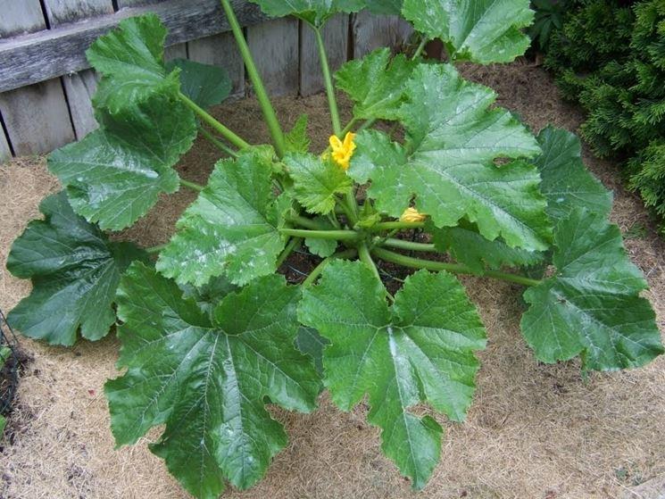 zucchine coltivazione