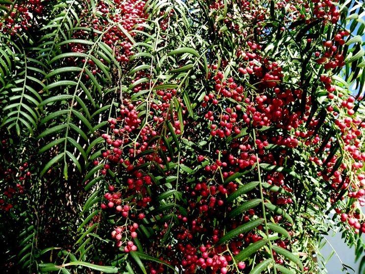 Una <em>pianta di pepe</em> in Brasile