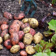 Raccolta delle patate