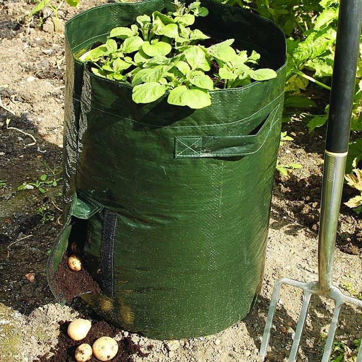 Patate coltivate in sacco