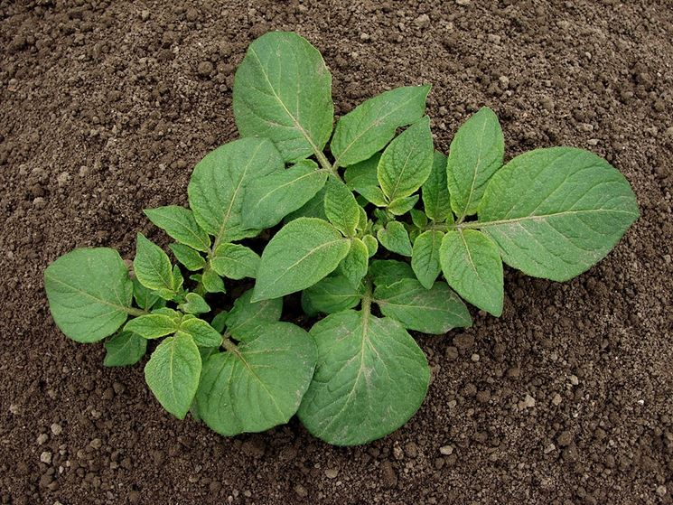 piante di patate