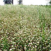 grano saraceno coltivazione