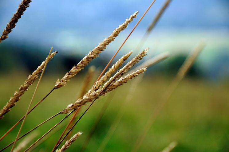 lo spirito del grano