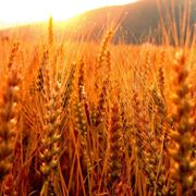 Campo spighe grano
