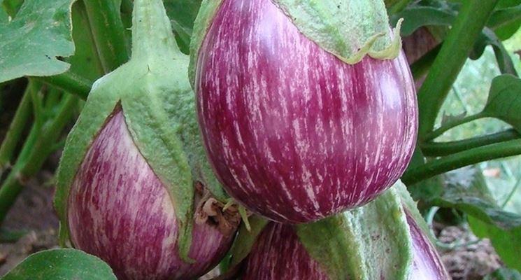 pianta della melanzana rosa