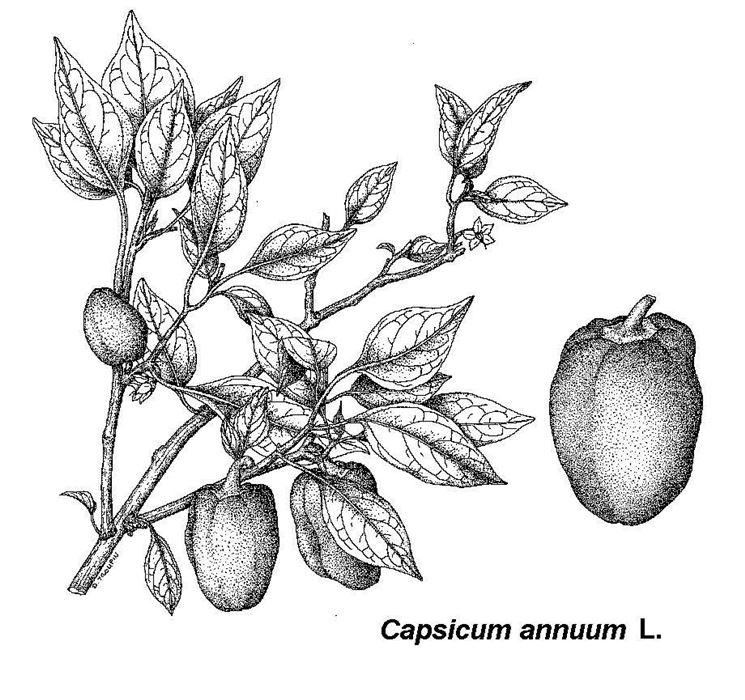 Disegno botanico del Capsicum Annuum, cui appartiene il peperoncino jalapeno