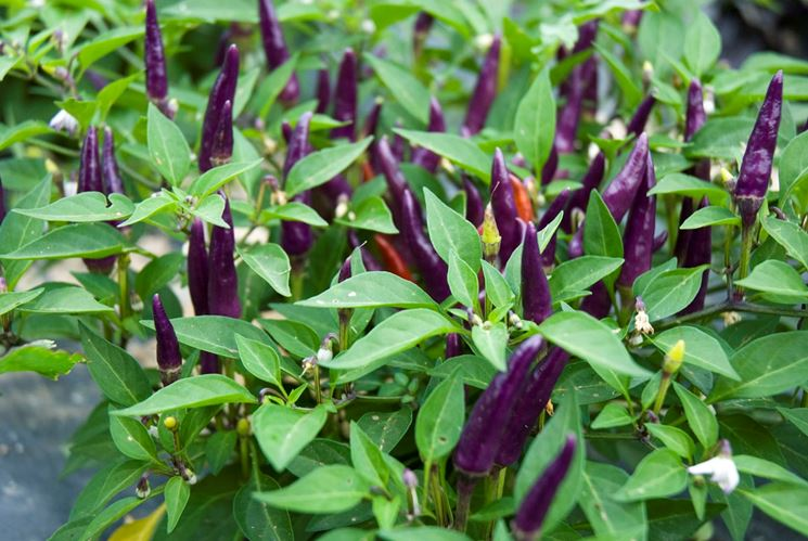 purple jalapeno