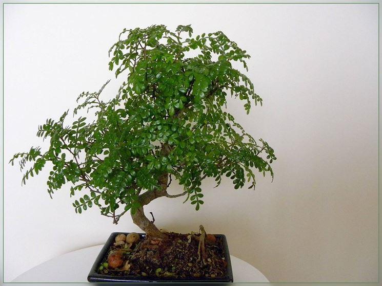 Pianta del pepe bonsai (Operculicaria decaryi)