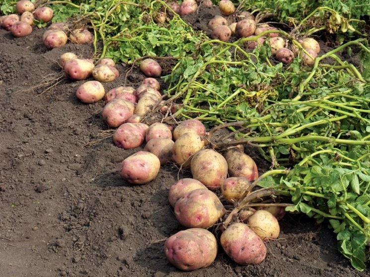 piantare patate orto consigli per piantare patate