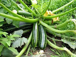 coltivazione zucchine