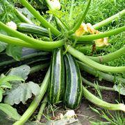pianta zucchine potatura