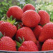 Piante di fragole