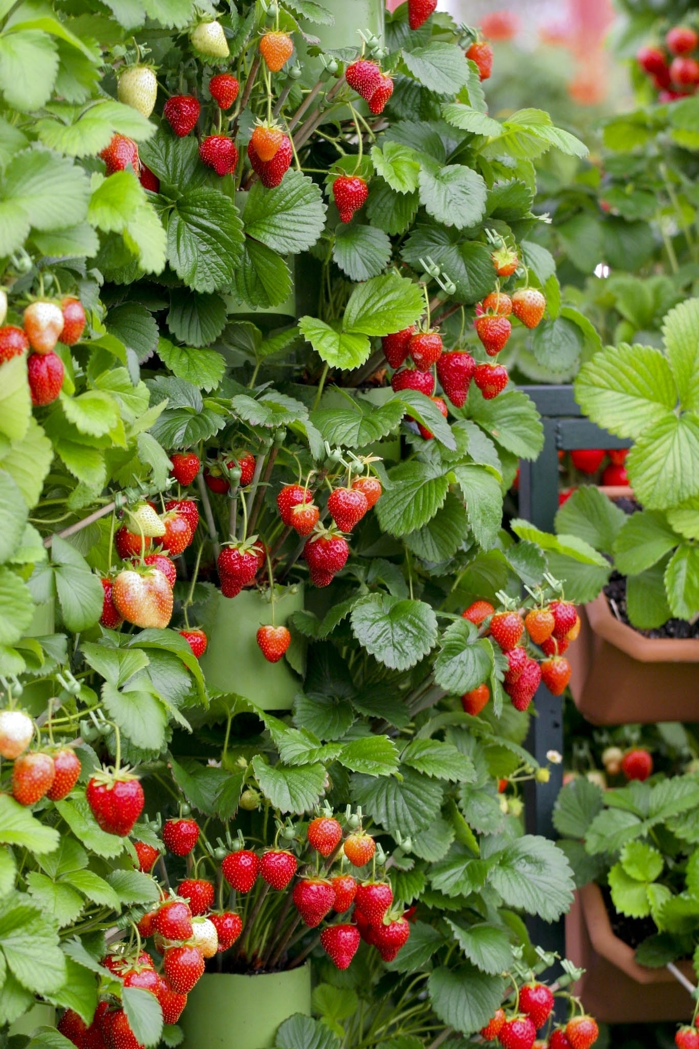 piante di fragole orto