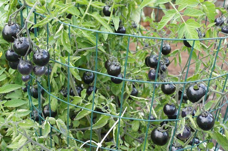 Pomodori neri a grappolo