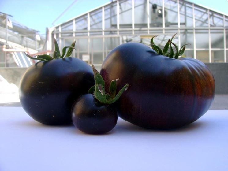 Pomodori neri raccolta