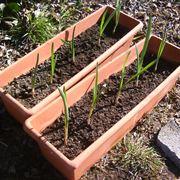Piantine di aglio