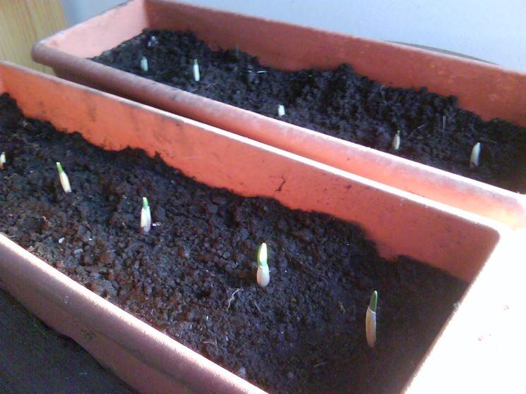 Aglio coltivato in vasi