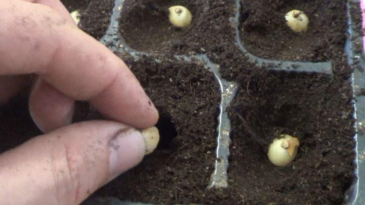 Sistemazione spicchi d'aglio