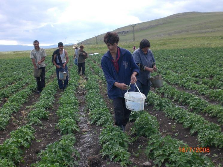 Fertilizzazione delle patate