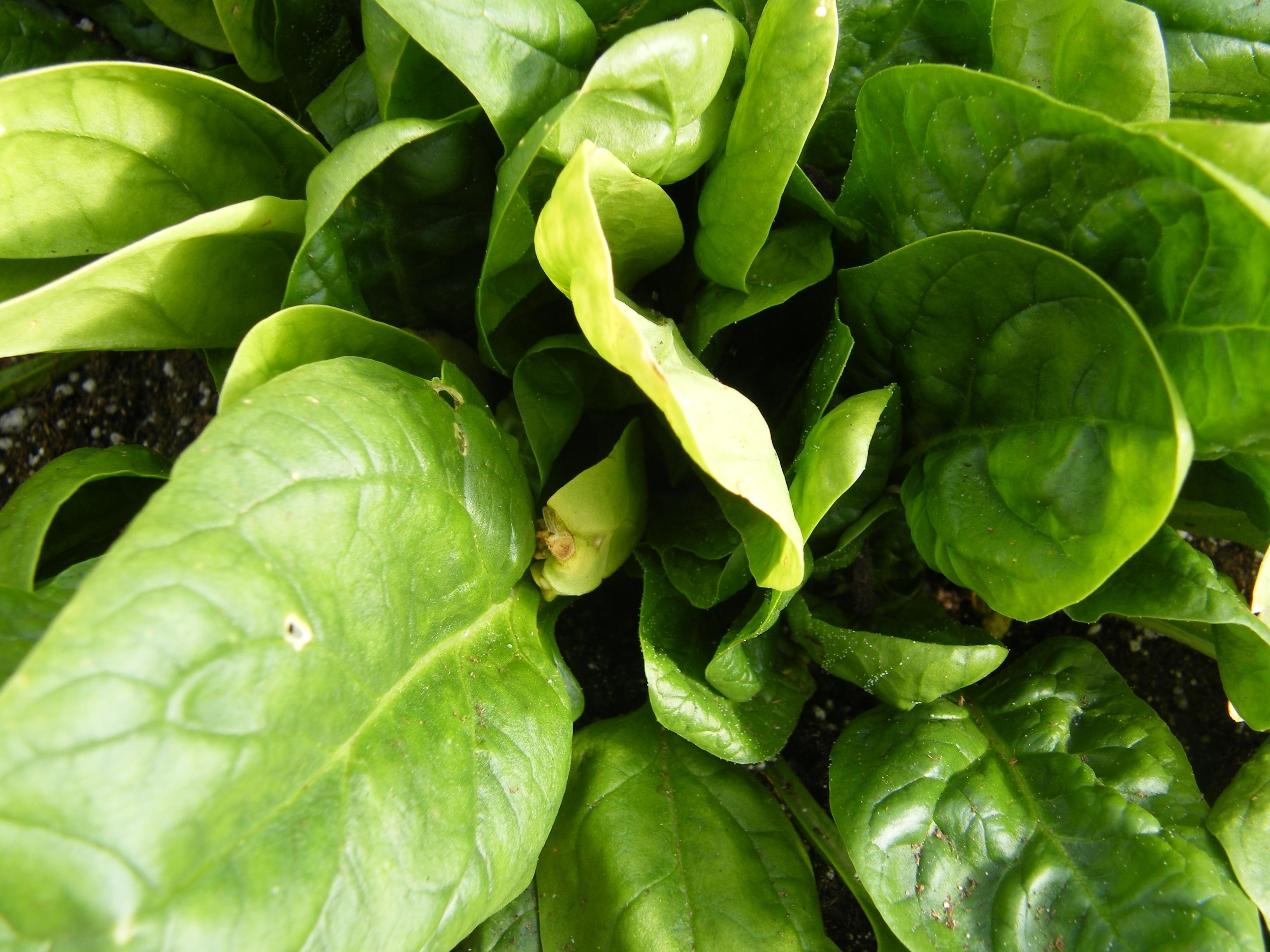 Fiori Da Piantare Nell Orto spinaci - orto - coltivare spinaci