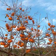 piantare alberi da frutto