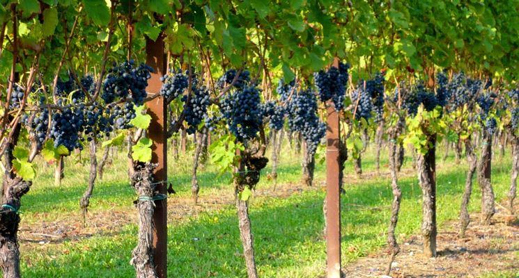 filari di viti nel campo