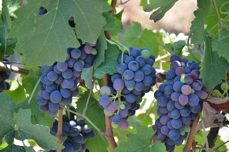 grappoli d'uva maturi