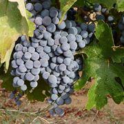 Uno splendido grappolo di uva nera