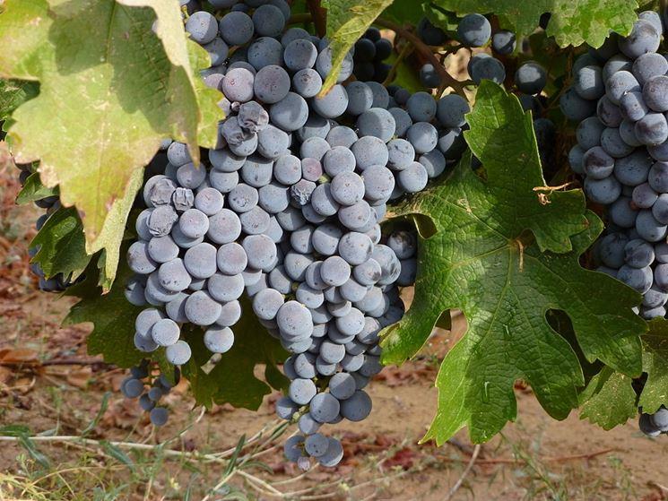 Uno splendido <strong>grappolo di uva</strong> nera