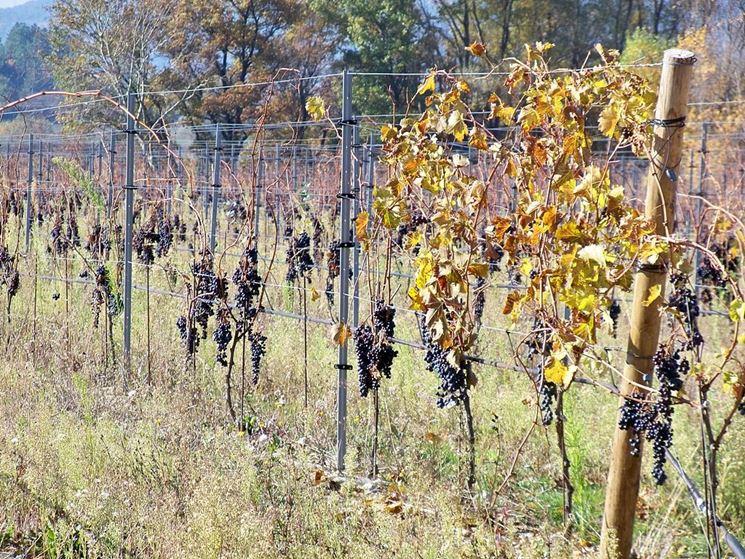 Grappoli d'uva sulla pianta in autunno