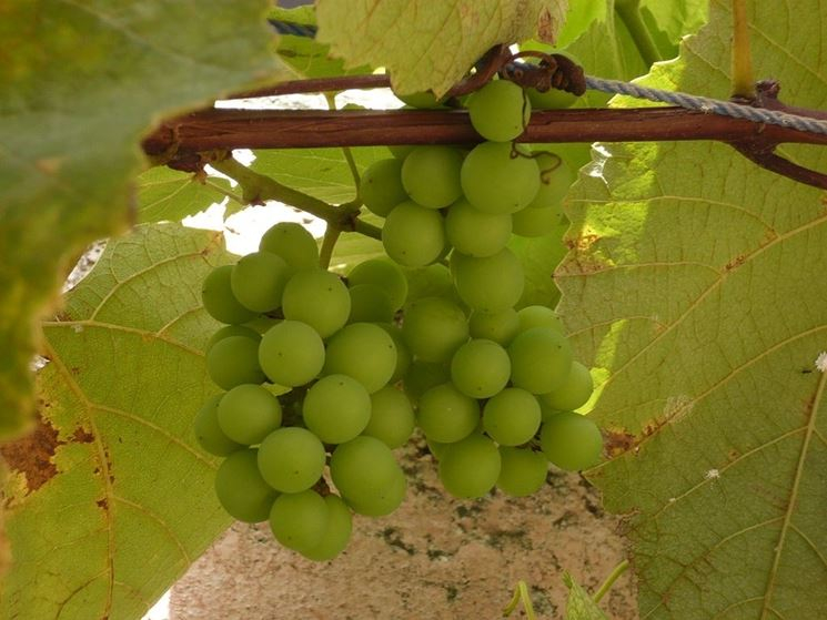 Grappolo d'uva immaturo
