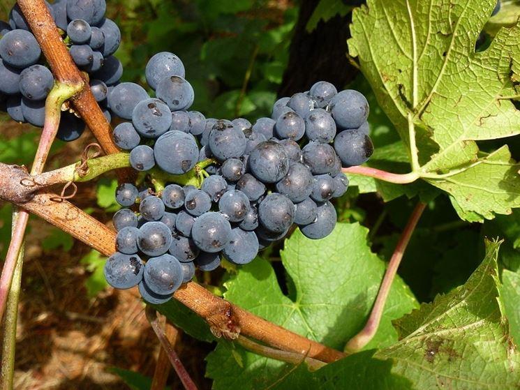 Grappoli maturi di Pinot nero