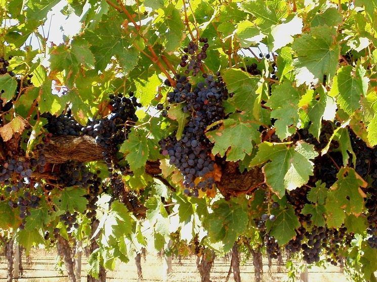 Grappoli di uva nera con elevato grado di maturazione