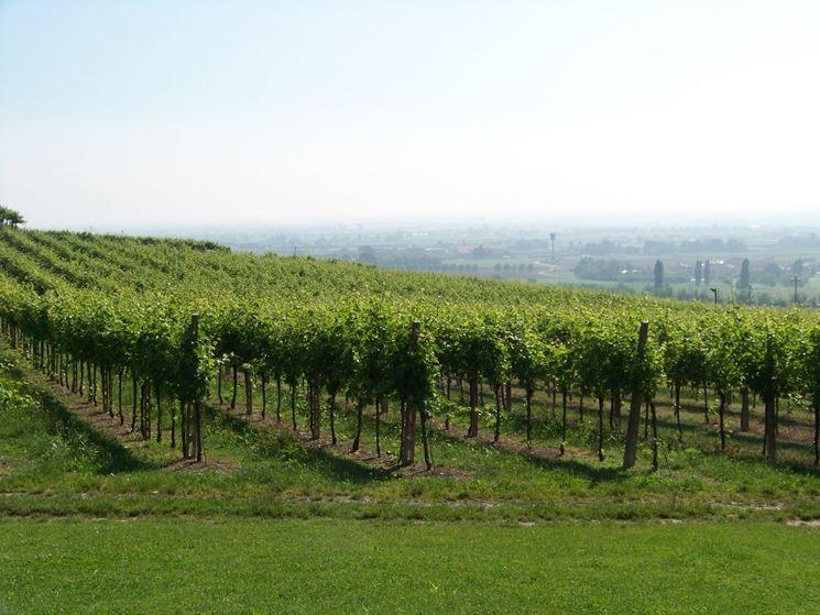Piantare uva uva come piantare l 39 uva for Barbatelle di vite
