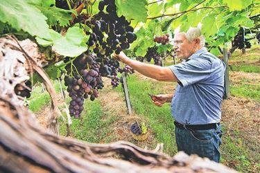piante d'uva