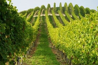distesa di viti d'uva