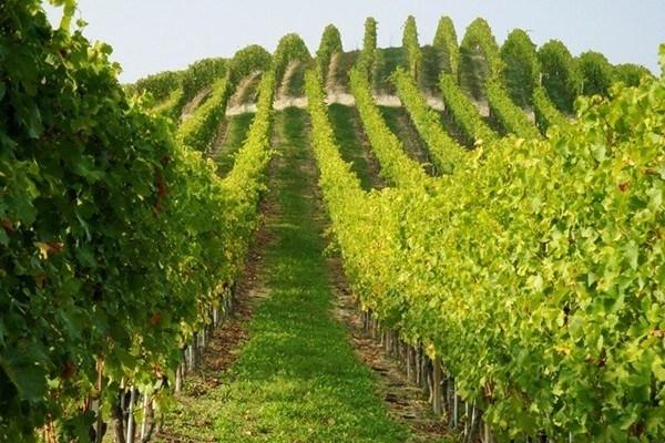 Piante di vite piante uva uva le piante da uva - Piante uva da tavola ...