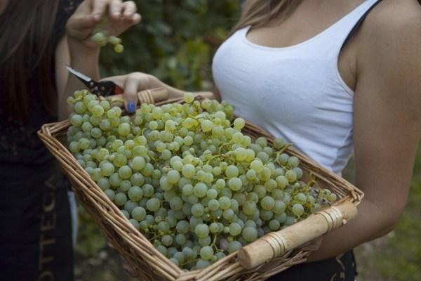 Piante uva uva le piante da uva - Piante uva da tavola ...