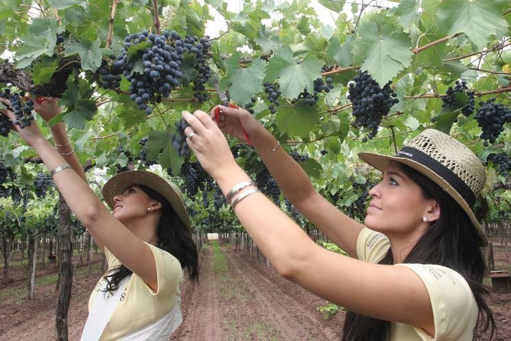 Raccolta di uva sangiovese