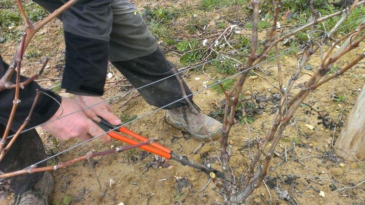 Potatura uva di formazione