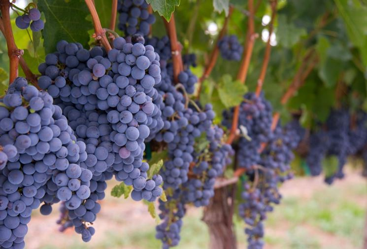 Varietà di uva nera