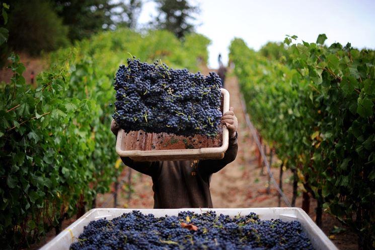 Raccolta uva in Italia
